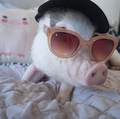 Hamlet the piggy